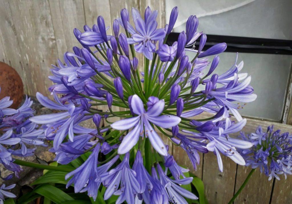 Allium (Tina)