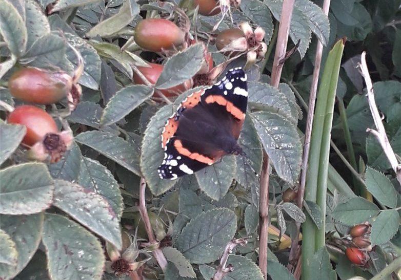 Butterfly on buddlia