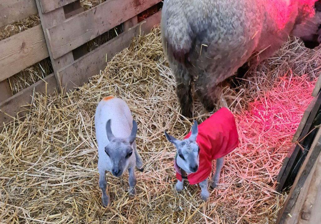New lambs Jan 21