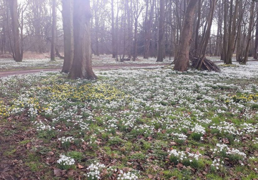Snowdrops in the woods (2)